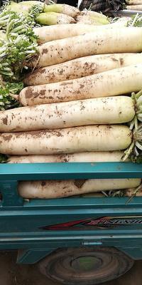 这是一张关于白萝卜 4斤以上的产品图片