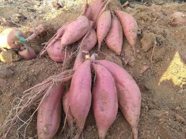 烟薯25 红皮 6两~1斤