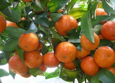 这是一张关于砂糖橘苗 嫁接苗 0.2米以下的产品图片