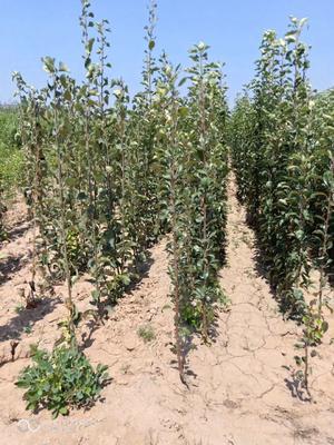 这是一张关于红富士苹果苗 1~1.5米的产品图片