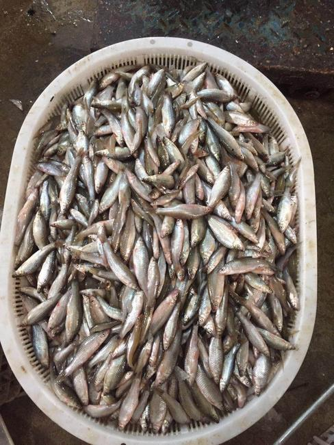 麦穗鱼 野生 0.05公斤