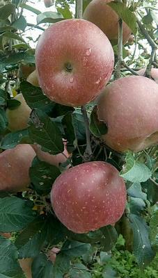 这是一张关于冰糖心苹果 光果 片红 80mm以上的产品图片