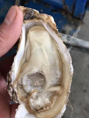 广东省佛山市南海区山东乳山牡蛎 人工殖养 2-3两/只