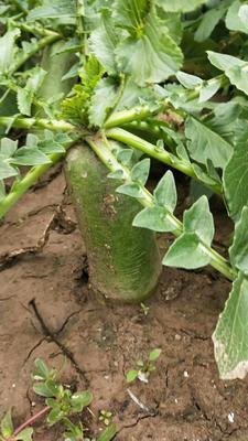 这是一张关于沙窝萝卜 1.5~2斤的产品图片