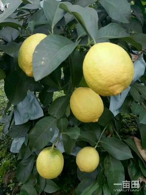 四川省遂宁市安居区安岳柠檬 2.7 - 3.2两