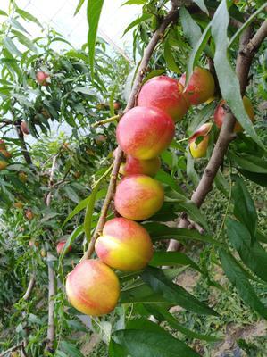 这是一张关于中油19油桃 1~1.5米的产品图片