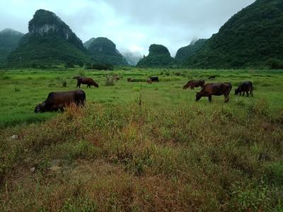 广西壮族自治区柳州市融安县土黄牛 400-600斤 统货