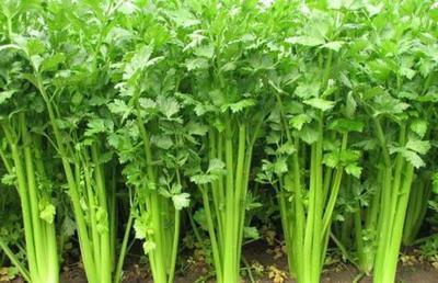 这是一张关于苦水芹菜 40~45cm 大棚种植 0.5斤以下的产品图片