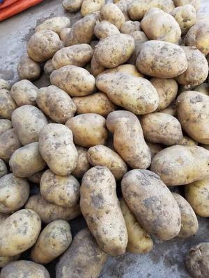 吉林省四平市公主岭市超荷兰15号土豆 统货