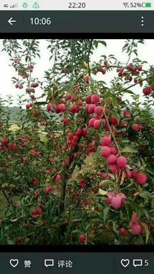 这是一张关于寒富苹果树苗 1~1.5米的产品图片