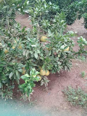 四川省自贡市富顺县红心柚 2.5斤以上