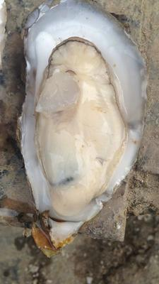 这是一张关于北部湾生蚝 野生 5-6两/只的产品图片