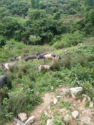 四川省达州市大竹县藏香猪 60斤以上