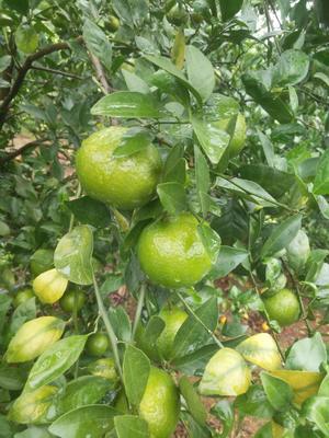 这是一张关于黄帝柑 5.5 - 6cm 1 - 1.5两的产品图片