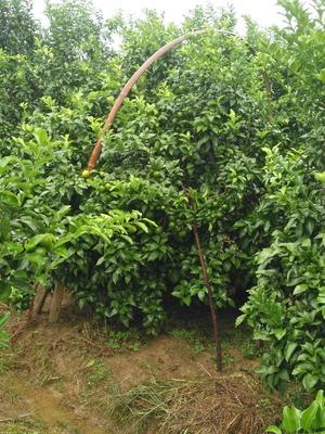 广西壮族自治区桂林市永福县沙糖桔 4.5 - 5cm 1 - 1.5两