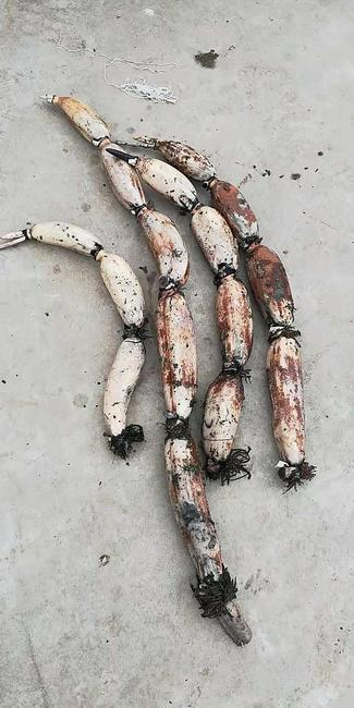 野生莲藕 7-9cm 20~25cm