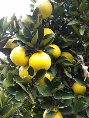 这是一张关于胡柚 1斤以下的产品图片