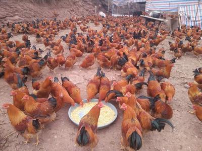 广西壮族自治区南宁市邕宁区土鸡 公 4-5斤