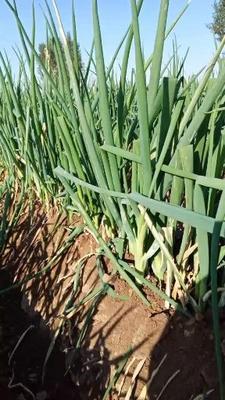 河南省鹤壁市浚县长白大葱 3cm左右 40cm以上 毛葱