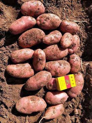 这是一张关于川引2号土豆 3两以上的产品图片
