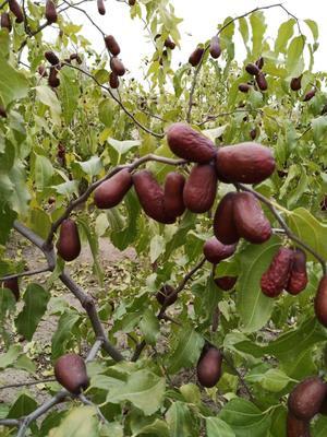 这是一张关于骏枣 统货的产品图片