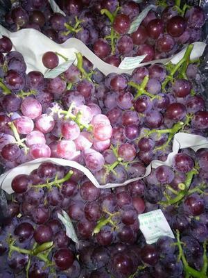 河北省石家庄市辛集市巨峰葡萄 5%以下 1次果 0.8-1斤