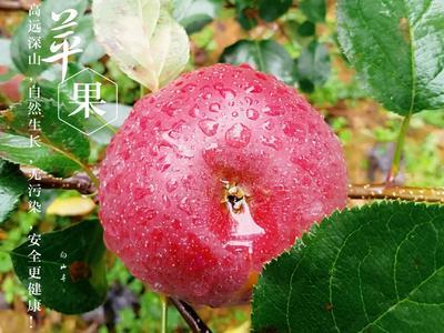 四川省成都市新都区丑苹果 光果 片红 75mm以下