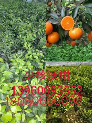 这是一张关于无核沃柑苗 嫁接苗 0.5~1米的产品图片
