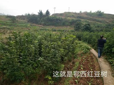 这是一张关于红豆树的产品图片