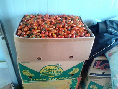 这是一张关于409小柿子的产品图片