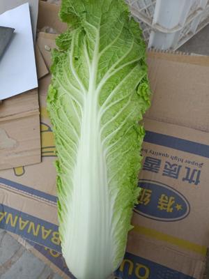 这是一张关于北京新三号白菜 3~6斤 净菜的产品图片