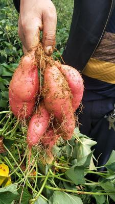 这是一张关于红心红薯 红皮 混装通货的产品图片