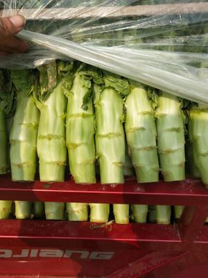 这是一张关于三青王莴笋 50-60cm 1.5~2.0斤的产品图片