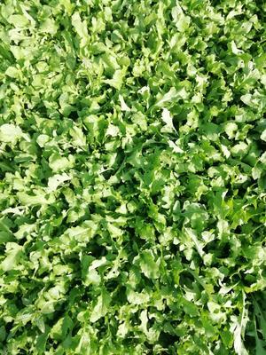 这是一张关于狭叶费菜 散装的产品图片