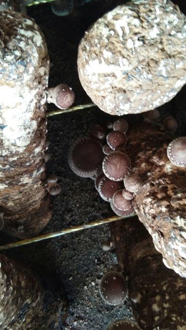 香菇808 厚菇(冬菇) 冬菇 2%~3% 原木香菇 4cm~6cm 黑面菇 鲜香菇 带柄 一级