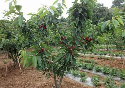 这是一张关于矮化樱桃苗的产品图片