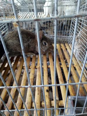 贵州省黔东南苗族侗族自治州黄平县比利时兔 3-5斤