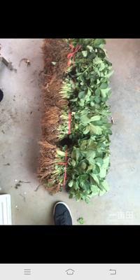 山东省临沂市平邑县巨星一号草莓苗 地栽苗 10公分以下