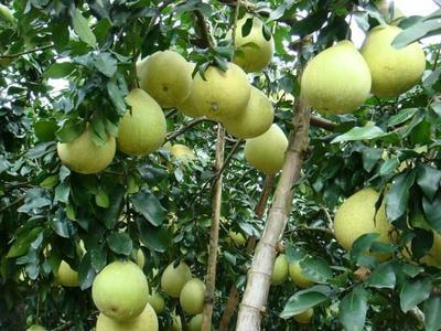 这是一张关于琯溪蜜柚 1斤以下的产品图片