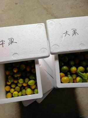 广西壮族自治区桂林市灵川县脆皮金桔 3-4cm 1两以下
