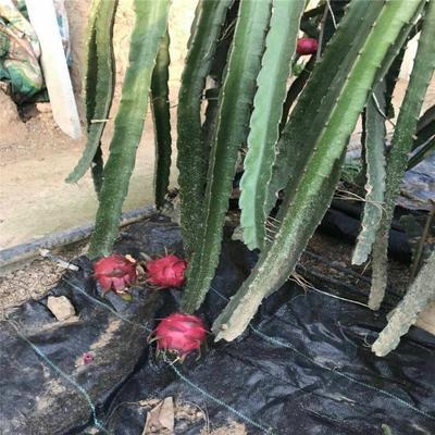 山东省泰安市岱岳区红皮红肉火龙果苗