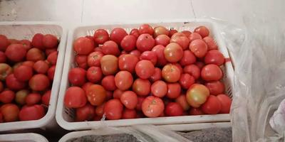 河南省周口市鹿邑县硬粉番茄 不打冷 硬粉 通货