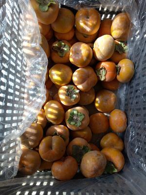 这是一张关于脆柿 3 - 4两以上的产品图片