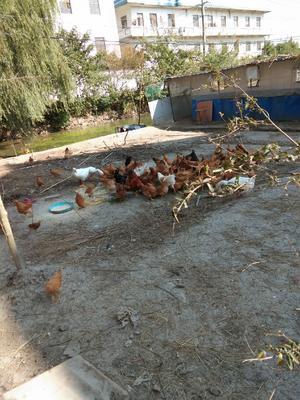 江苏省扬州市江都区土鸡 统货 2-3斤