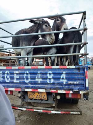 这是一张关于西门塔尔牛 400-600斤 公牛的产品图片