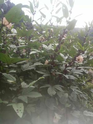 广西壮族自治区河池市凤山县玫瑰茄