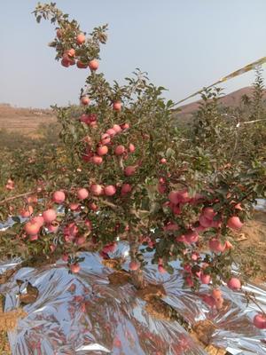 这是一张关于红富士苹果 纸袋 片红 75mm以上的产品图片