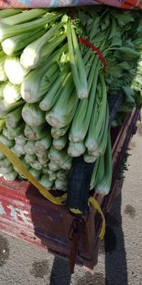 这是一张关于西芹 55~60cm 露天种植 0.5~1.0斤的产品图片
