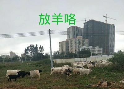 广东省湛江市徐闻县山羊 30-50斤