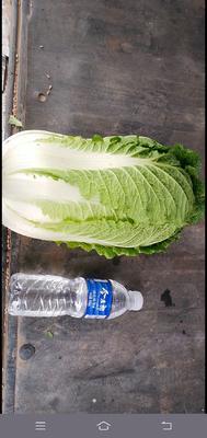 这是一张关于山地王2号 3~6斤 净菜的产品图片
